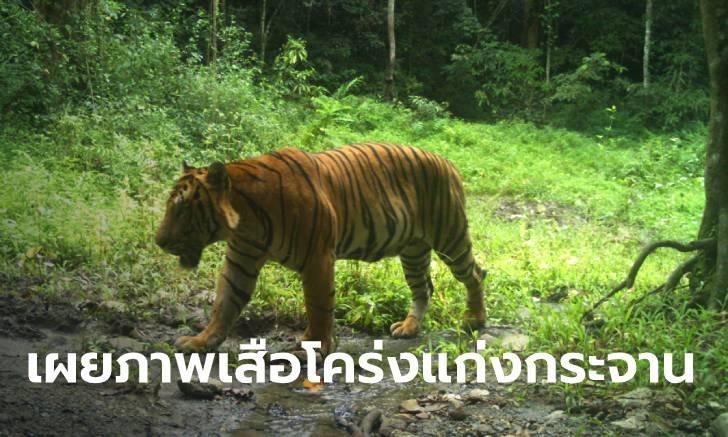 เสือพีเพราะป่าปก! อช.แก่งกระจานเผยภาพเสือโคร่งตัวใหญ่ ชายแดนไทย-เมียนมา