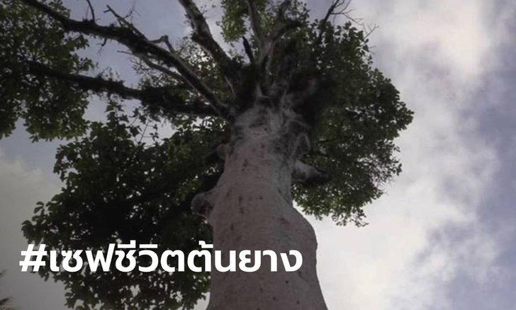 """คนเมืองคอนร้องขอชีวิต """"ต้นยางนาโบราณ"""" อายุร้อยปีกำลังจะตาย"""