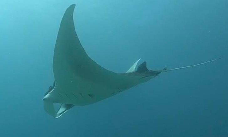 กระเบนราหู สัตว์ทะเลหายาก อวดโฉมนักท่องเที่ยวหมู่เกาะสิมิลัน