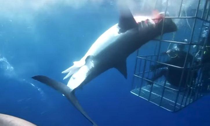 คลิปสลด ฉลามพุ่งเข้าหากรงนักท่องเที่ยว ส่วนหัวดึงออกไม่ได้ดิ้นเลือดสาดตายต่อหน้า