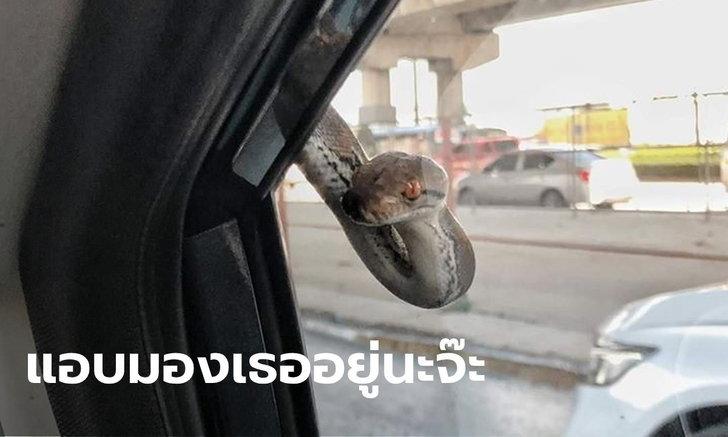 สาวกรี๊ดลั่นรถ ลูกงูเหลือมโผล่ทักข้างกระจกรถ จ้องหน้าตาต่อตา