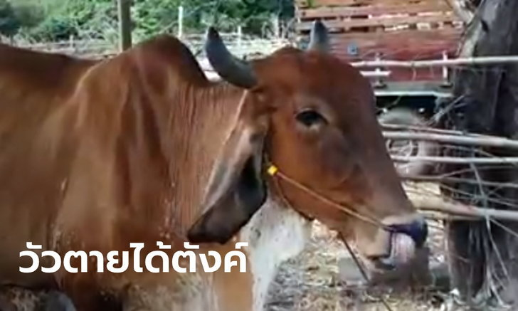 """เกษตรกรต้องฟัง! ธ.ก.ส.ร่อน """"โครงการประกันภัยโคเนื้อ"""" วัวตายได้ 3 หมื่นบาท"""
