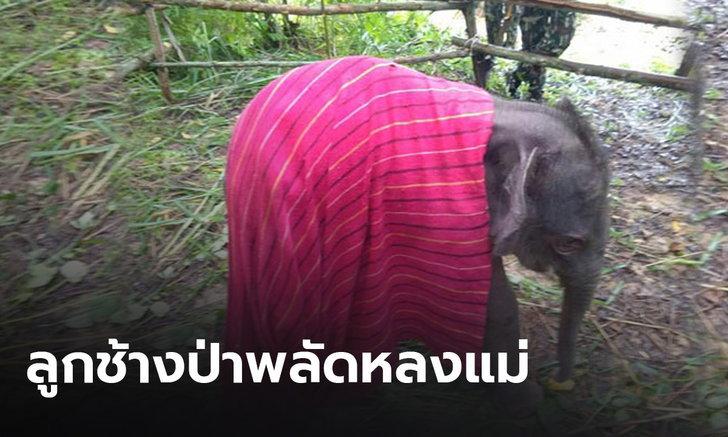 พบลูกช้างป่าพลัดหลงกับแม่  เจ้าหน้าที่อุทยานแห่งชาติทับลานเร่งช่วยเหลือ