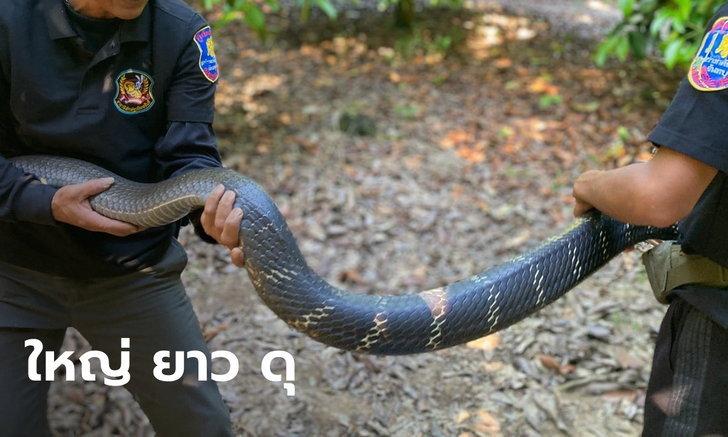 """เผยคลิปนาทีหวาดเสียว """"งูจงอางยักษ์"""" ยาว 4 เมตร แผ่แม่เบี้ยสูง-ฉกสู้ไม่ยอมให้จับ"""