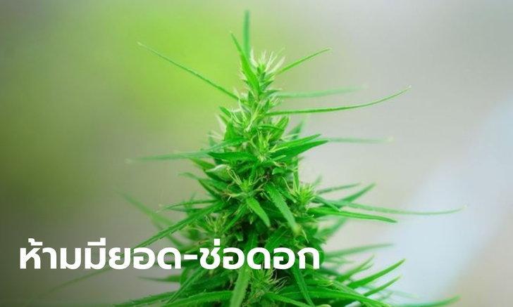 """ไฟเขียว ถอด """"ใบกัญชา-กัญชง"""" ออกจากบัญชียาเสพติด ใช้ในทางการแพทย์ได้"""