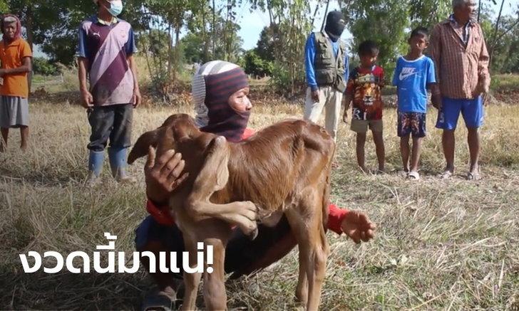ฮือฮา แม่วัว 5 เต้า ตกลูกเพศเมีย 5 ขา 6 เท้า เชื่อนำโชคมาให้ปีวัวทอง | https://tookhuay.com/ เว็บ หวยออนไลน์ ที่ดีที่สุด หวยหุ้น หวยฮานอย หวยลาว