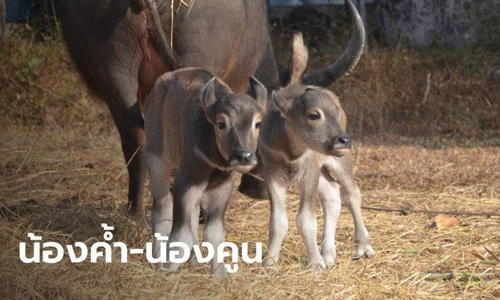 """แม่ควายตกลูกแฝด เจ้าของตะลึงเกิดมาไม่เคยเจอ ตั้งชื่อ """"ค้ำคูน"""" เชื่อมาให้โชคลาภ"""