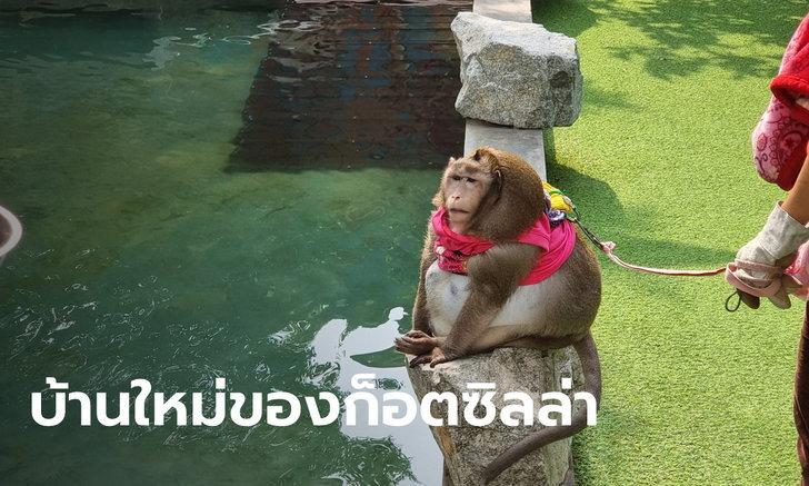 """ส่งลิง """"ก็อตซิลล่า"""" ให้โรงพยาบาลสัตว์รักษา เจ้าของเยี่ยมได้ แต่หายแล้วต้องคืนอุทยานฯ"""