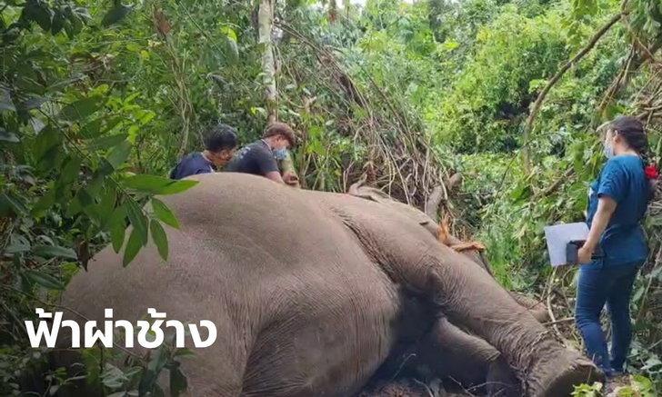 """สุดสลด ฟ้าผ่า """"พังบุญครอง"""" ช้างนำเที่ยวมูลค่า 4 ล้านบาท ล้มดับใต้ต้นไม้"""
