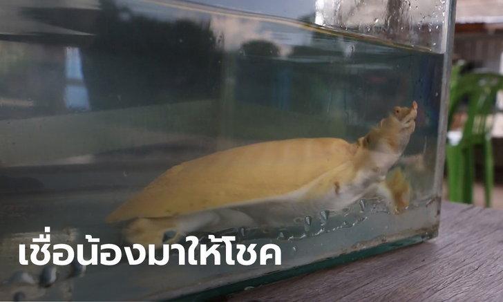 ฮือฮา ตะพาบตัวสีเหลืองทองเดินต้วมเตี้ยมเข้าบ้าน 2 วันก่อนก็มีเต่าเดินตรงไปที่ จยย.
