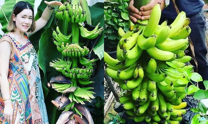 """""""บัวชมพู ฟอร์ด"""" โชว์ผลงานปลูกกล้วย ออกลูกเครือใหญ่ นับได้เบาๆ 11 หวี (คลิป)"""