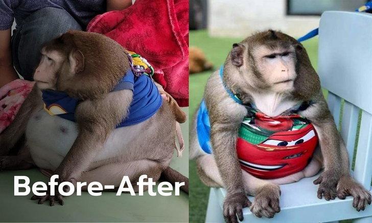 """ผอมแล้ว! ลิง """"ก็อตซิลล่า"""" น้ำหนักลด 6.2 กก. ที่แท้ป่วยไทรอยด์ หมอแนะส่งคืนเจ้าของ"""