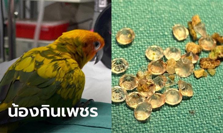 """น้องชอบของวิบวับ """"นกแก้วซันคอนัวร์"""" กินเพชรไปถึง 21 เม็ด หมอต้องผ่าตัดเอาออก"""