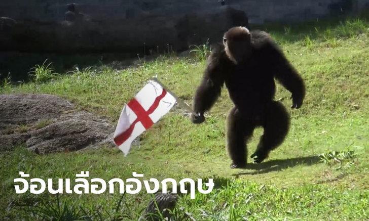"""""""จ้อน"""" ลิงชิมแปนซีสวนสัตว์สงขลา ทายผลบอลยูโรถูกอีกแล้ว ได้ทุเรียนหมอนทองเป็นรางวัล"""