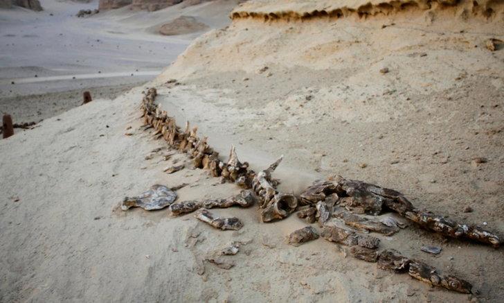 """อียิปต์พบฟอสซิล """"วาฬสี่ขา"""" เก่าแก่ 43 ล้านปี อาศัยอยู่บนบกและในน้ำ"""