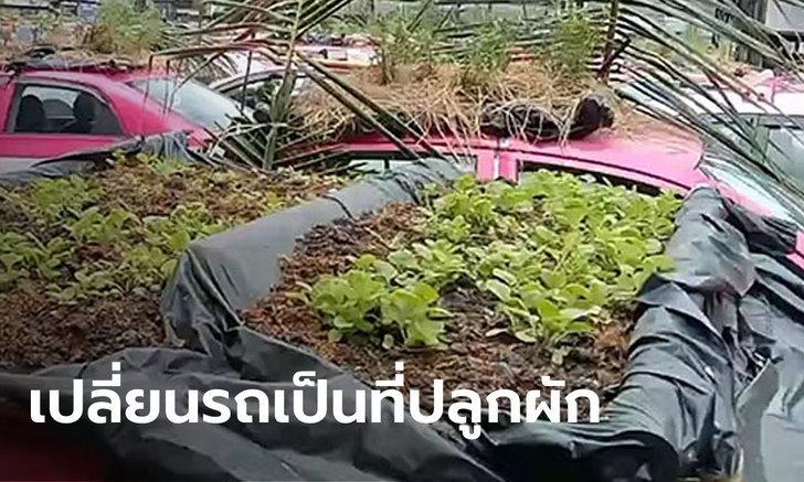 แท็กซี่ 300 คัน จอดเรียง กลายเป็นกระถางปลูกผักช่วงโควิด