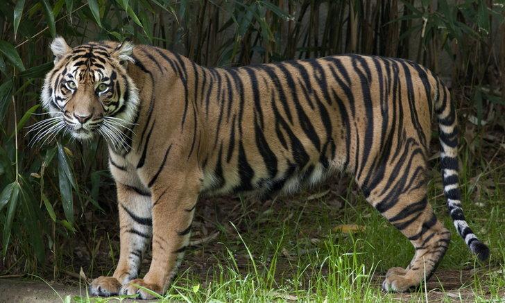 สิงโต-เสือ ทั้งหมดในสวนสัตว์แห่งชาติสหรัฐฯ ส่อแววติดโควิด-19