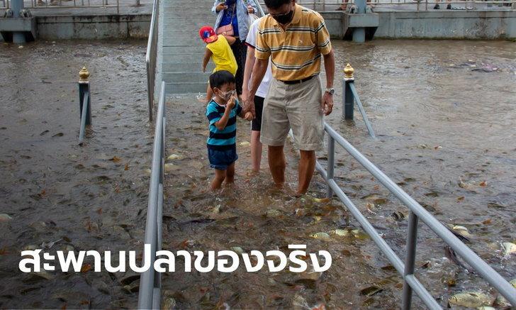อะเมซิ่งวัดพนัญเชิง น้ำท่วมทำปลาโผล่เหนือสะพาน คนแห่ป้อนอาหารถึงปาก