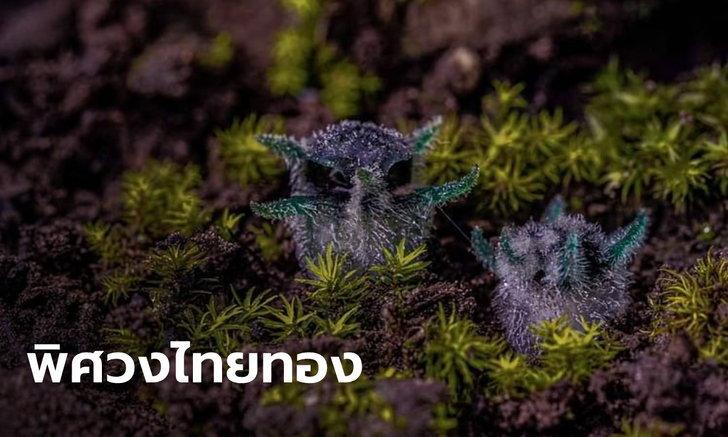 """ฮือฮา """"พิศวงไทยทอง"""" พรรณไม้สุดน่ารัก หน้าตาเหมือนนกฮูก พบบนดอยที่อุ้มผาง"""