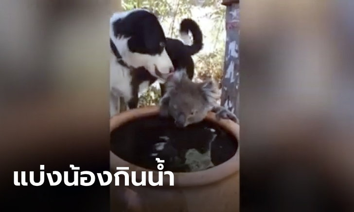 น่ารักที่สุดในโลก! คลิปสุนัข-โคอาล่า แบ่งกันดื่มน้ำในอ่าง หลังเผชิญความแห้งแล้งจากไฟป่า