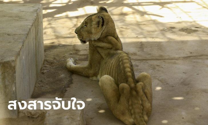 เผยภาพสุดอนาถ สิงโตสวนสัตว์ซูดาน ผอมหนังติดกระดูก-นอนไร้เรี่ยวแรงหายใจรวยริน