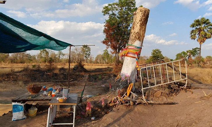 แห่ขอเลขเด็ด ตอไม้ล้มตาย 2 ปี กลับฟื้นยืนต้นใหม่ หวยงวดที่แล้วให้โชคตรงเป๊ะ-เฮยกหมู่บ้าน