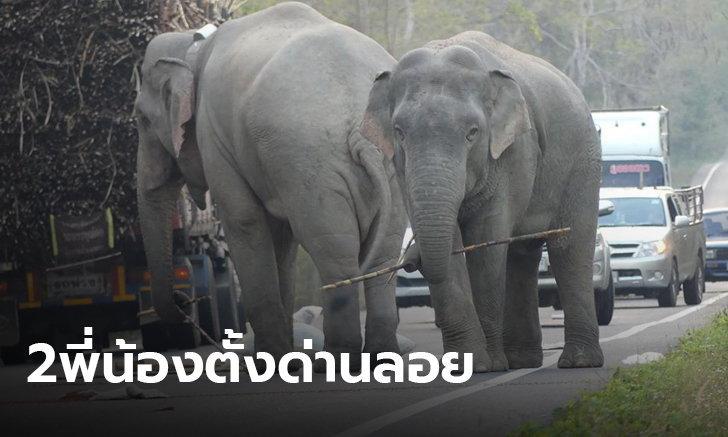 ช้างพี่สอนน้อง! เตือนคนใช้ทางหลวง 3076  ระวังช้างป่ารื้อค้นสิ่งของ