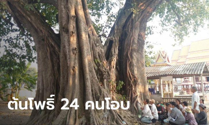 ฮือฮาต้นโพธิ์โบราณ 3 นางในต้นเดียว อายุ 496 ปี อยู่ยืนยงตั้งแต่อยุธยาตอนต้น