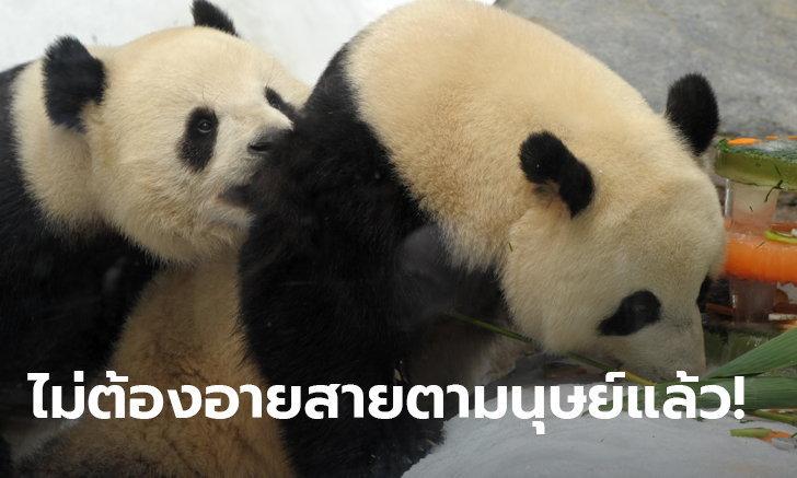 2 แพนด้าฮ่องกง เริงสวาท! ผสมพันธุ์ครั้งแรก หลังรู้สึกเป็นส่วนตัวขึ้น เพราะนักท่องเที่ยวหาย