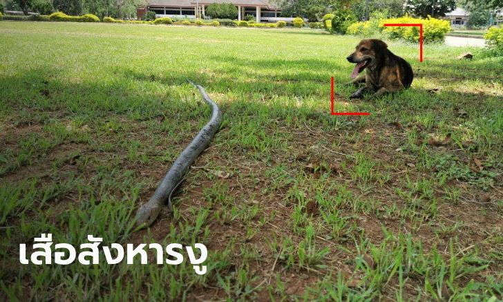 """หมาจรฮีโร่ """"เจ้าเสือ"""" สู้ฟัดกัดงูจงอางยาวเกือบ 3 เมตร ปกป้องคนให้ข้าวให้น้ำ"""