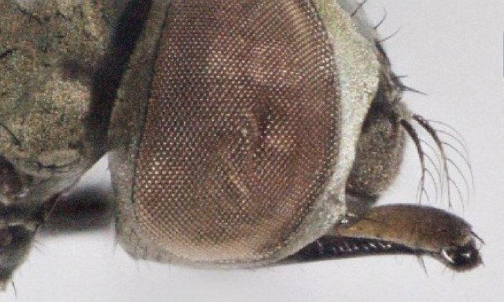 """ฮือฮา ม.มหิดล พบ """"แมลงวันดูดเลือด"""" ชนิดใหม่ของโลก ที่แม่วาง จ.เชียงใหม่"""