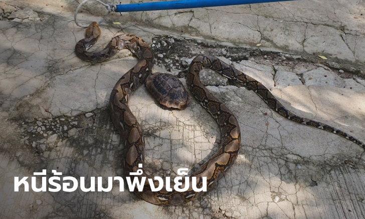 ตะลึงทั้งวัด! งูเหลือมนอนขดล้อมเต่าลวดลายเดียวกัน นอนนิ่งหันหน้าหากุฏิเจ้าอาวาส