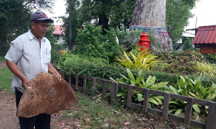 รังผึ้งหลวงถูกพายุพัดหล่นจากต้นยางนาอายุกว่า 250 ปี ชาวบ้านเชื่อมาให้โชคลาภ