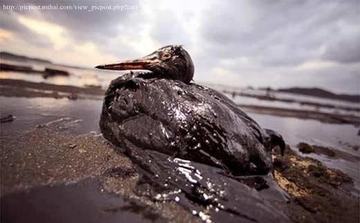 วิกฤต ! สัตว์ถูกคร่าหลังแท่นขุดเจาะน้ำมัน BP ระเบิด