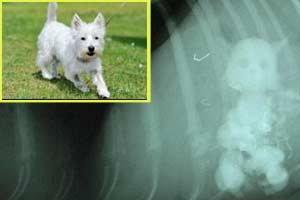 สโนวี่ สุนัขวัย 1 ขวบกลืนแมวของเล่นลงท้อง
