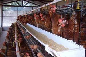 ส.ผู้เลี้ยงไก่ไข่เผยราคาหน้าฟาร์ม2.80บ.