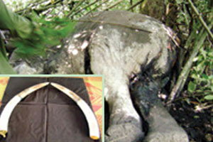 ศาลประจวบฯออกหมายจับแก๊งยิงช้างฆ่าเอางา