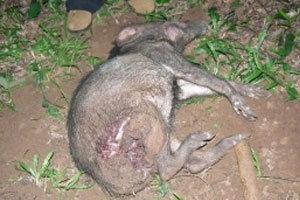 หมูป่าหนีหมาไนไล่ขย้ำ ตายคาเขาใหญ่