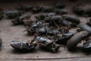 พิสดาร! แมลงนับล้านบุกบ้านตายายในวันพระ