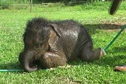 พบลูกช้างตัวเล็กที่สุดในโลกที่ลำปาง