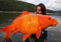 ตะลึง! ปลาทองฝรั่งเศสหนัก 30 ปอนด์