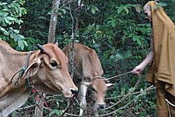 แม่วัวหนีตายเข้าวัด โชคดีผู้ใจบุญช่วยไถ่ตัว
