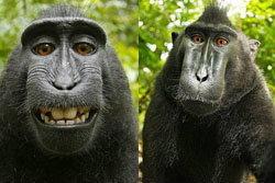 ช่างภาพอึ้ง! ลิงกังฉกกล้อง ถ่ายรูปตัวเองยิ้มแฉ่ง