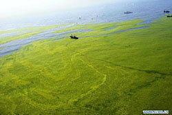 สาหร่ายสีเขียวแพร่ทั่วชายฝั่งทะเลของจีน