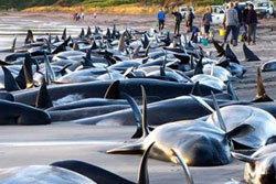 วาฬ 100 เกยตื้นชายหาดกีวี ตายคาที่ 59