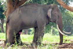 สลด! ช้างตกมันกระทืบหนุ่มร่างเละ งาแทงซ้ำดับคาที่