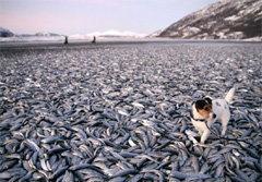 ปลาเฮอร์ริ่งนับแสนตัว ตายเกลื่อนหาดนอร์เวย์