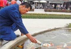 ปลาคาร์ฟดูดนม วัดร่องขุ่น อ.เฉลิมชัย ป้อนกับมือ
