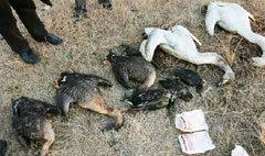 สลด! นกอพยพไซบีเรียถูกวางยาตายกองพะเนิน
