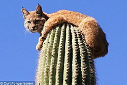 แมวป่าหนีตายขึ้นยอดกระบองเพชรสูง30ฟุต